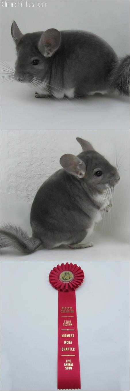 6035 Reserve Color Champion Violet Male Chinchilla