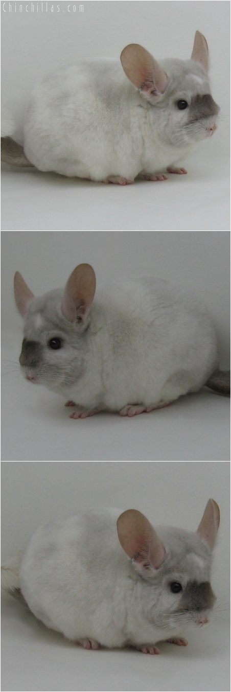 6034 Unique Beige & White Mosaic Male Chinchilla