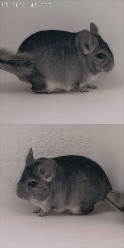 5225 Large Top Show Quality Standard ( Violet Carrier ) Male Chinchilla