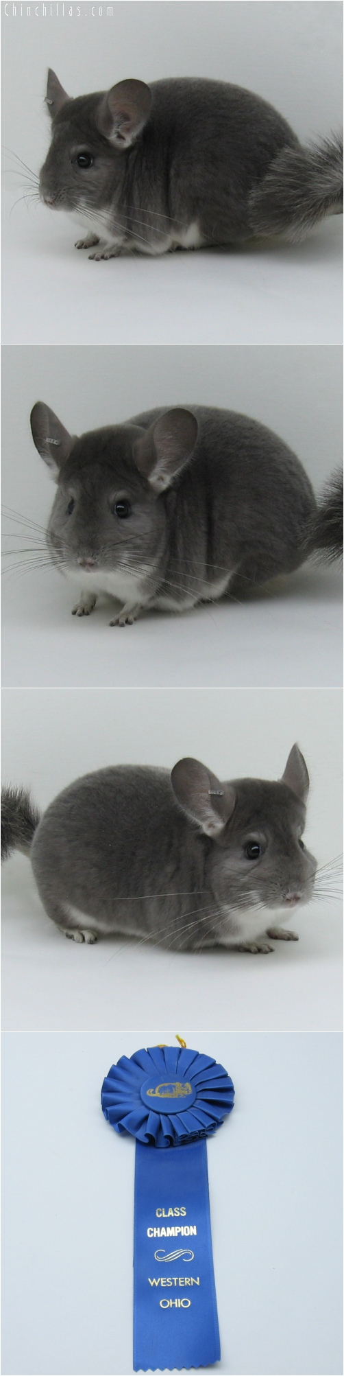 6021 ECBC Class Champion Violet Female Chinchilla