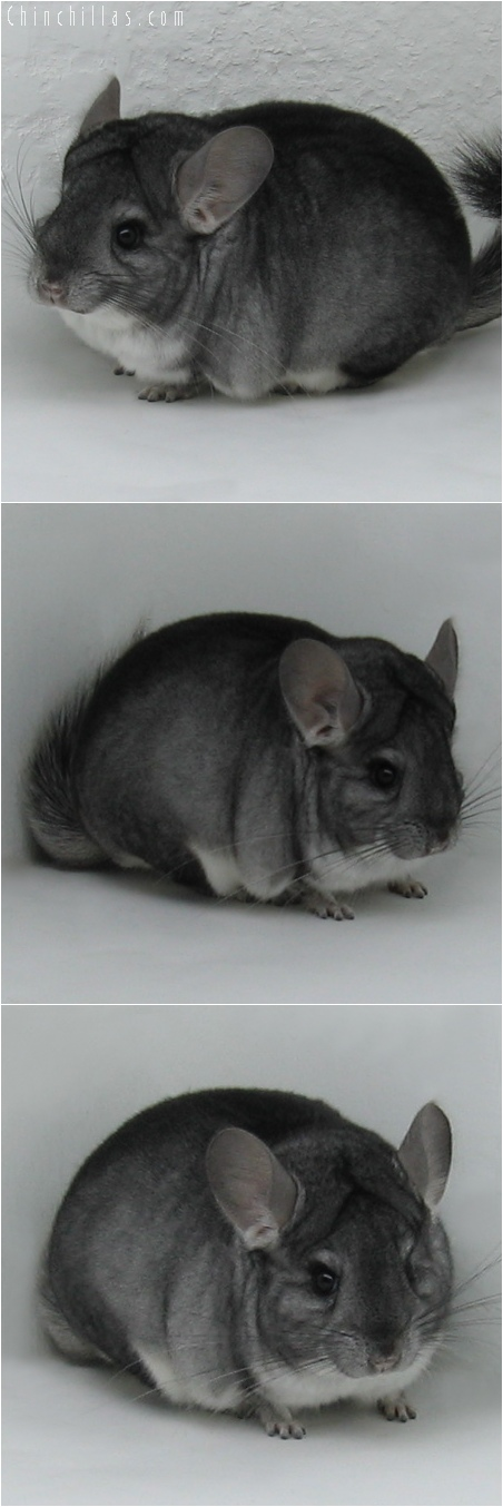 6028 Show Quality Standard ( Violet Carrier ) Male Chinchilla