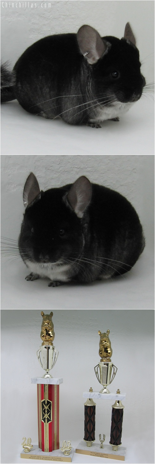 6042 Black Velvet Male - Twice Grand Show Champion Chinchilla