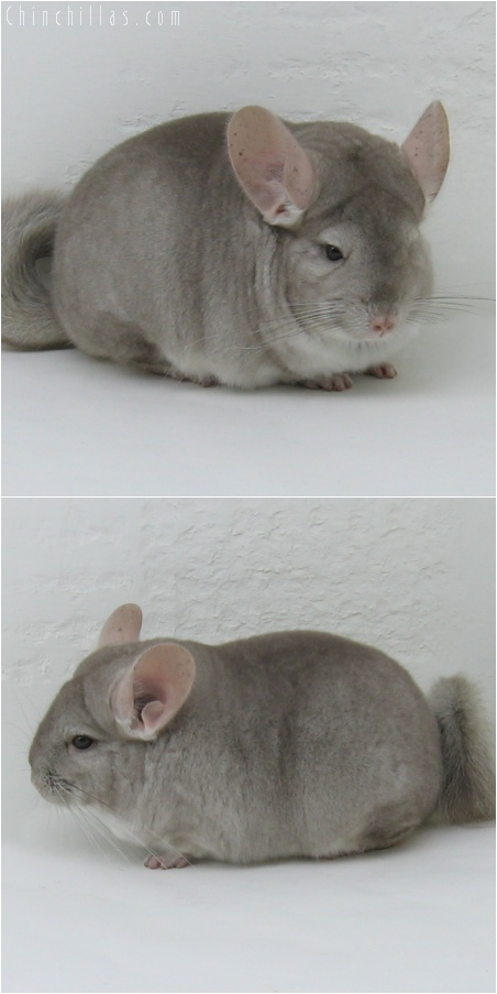 6032 Show Quality Beige Female Chinchilla