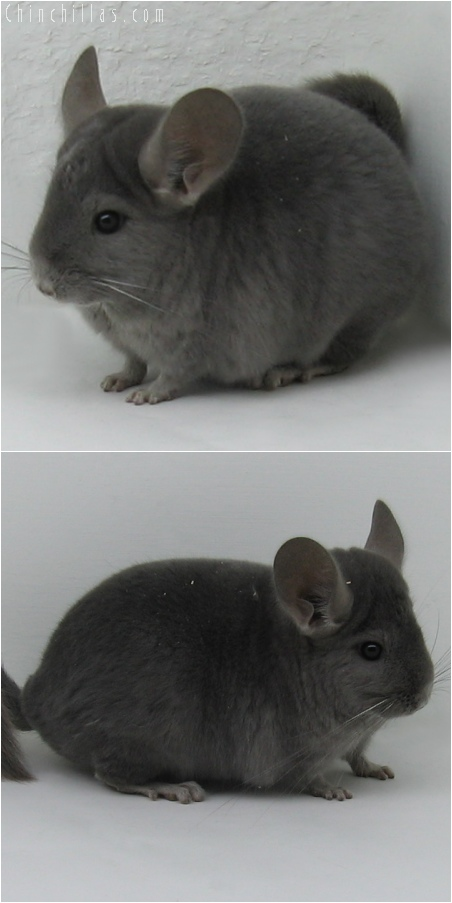 6043 Show Quality Wrap - Around Violet Female Chinchilla