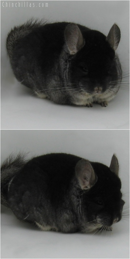 6041 Large Black Velvet Male Chinchilla