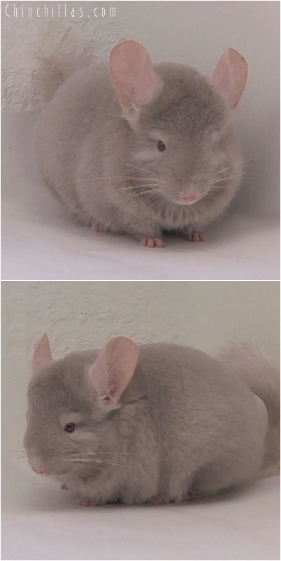 5246 Medium Tan Female Chinchilla