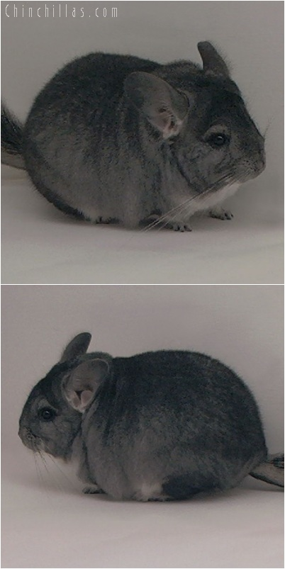 5256 Large Show Quality Standard Female Chinchilla