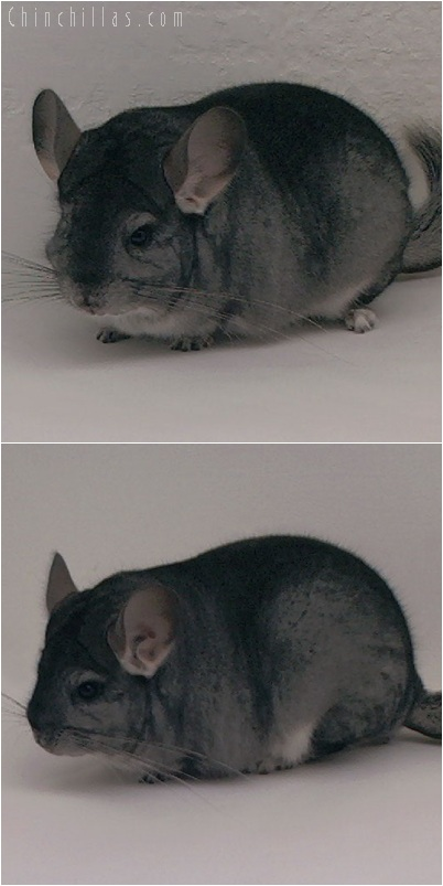 5243 Extra Large Premiun Production Quality Standard Female Chinchilla