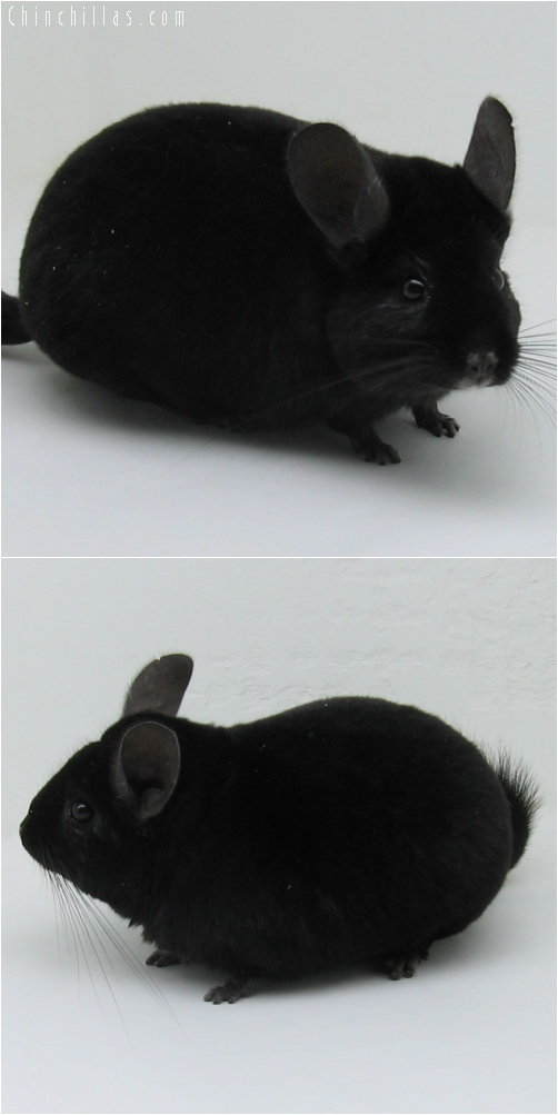 6047 Large Extra Dark Ebony Female Chinchilla