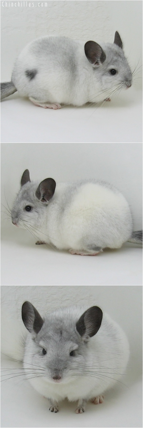 6046 Top Show Quality White Mosaic ( Sapphire Carrier ) Male Chinchilla