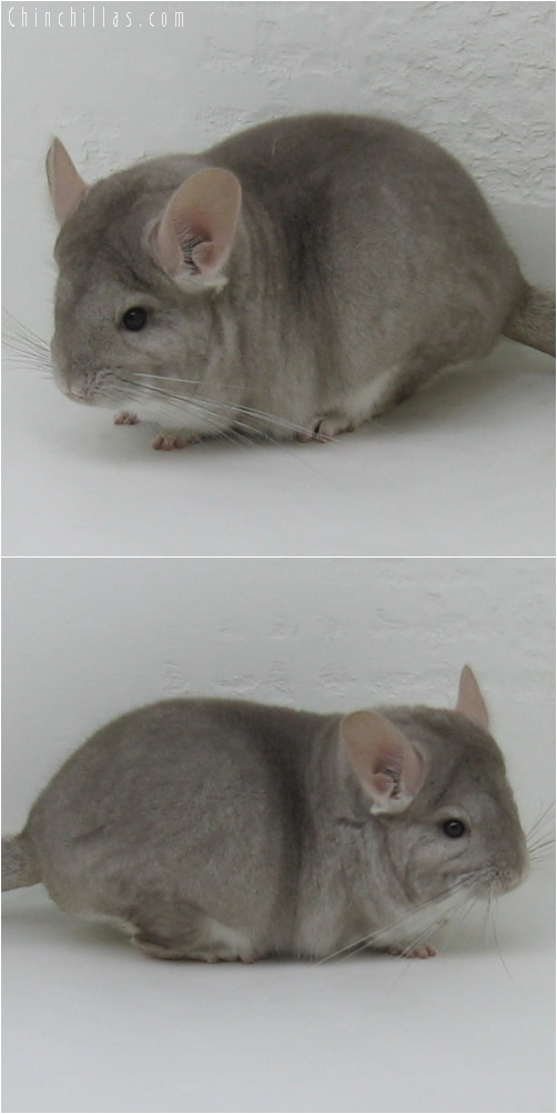 6037 Premium Production Quality Beige ( Ebony Carrier ) Female Chinchilla