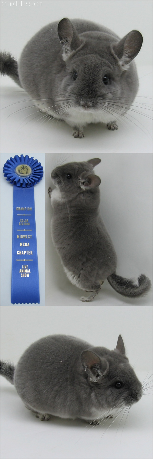 6052 Section Champion Violet Male Chinchilla
