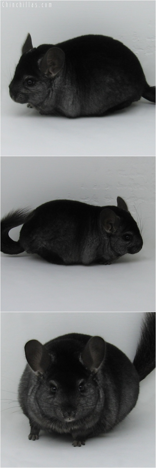 6051 Large Show Quality Ebony Male Chinchilla