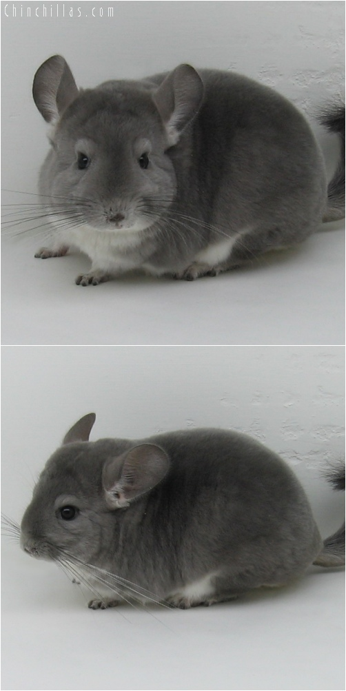 6040 Premium Production Quality Violet Female Chinchilla