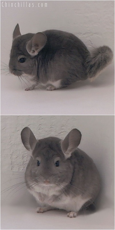 5211 Violet Female Chinchilla
