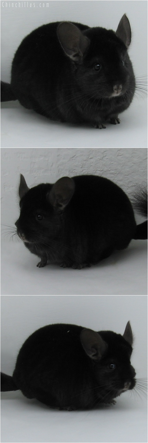 6068 Large Top Show Quality Extra Dark Ebony Male Chinchilla