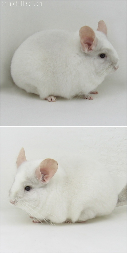 6062 Large Premium Production Quality Pink White Female Chinchilla