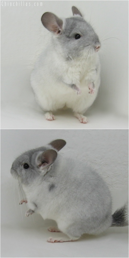 6061 Show Quality TOV Violet & White Mosaic Female Chinchilla