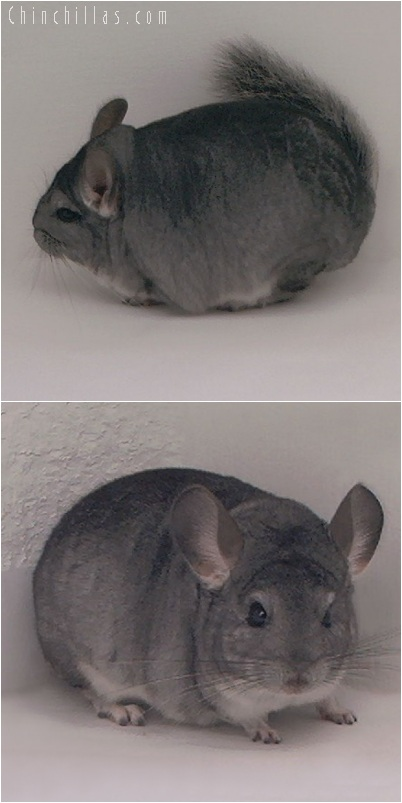 5251 Large Top Show Quality Standard ( Sapphire Carrier ) Male Chinchilla
