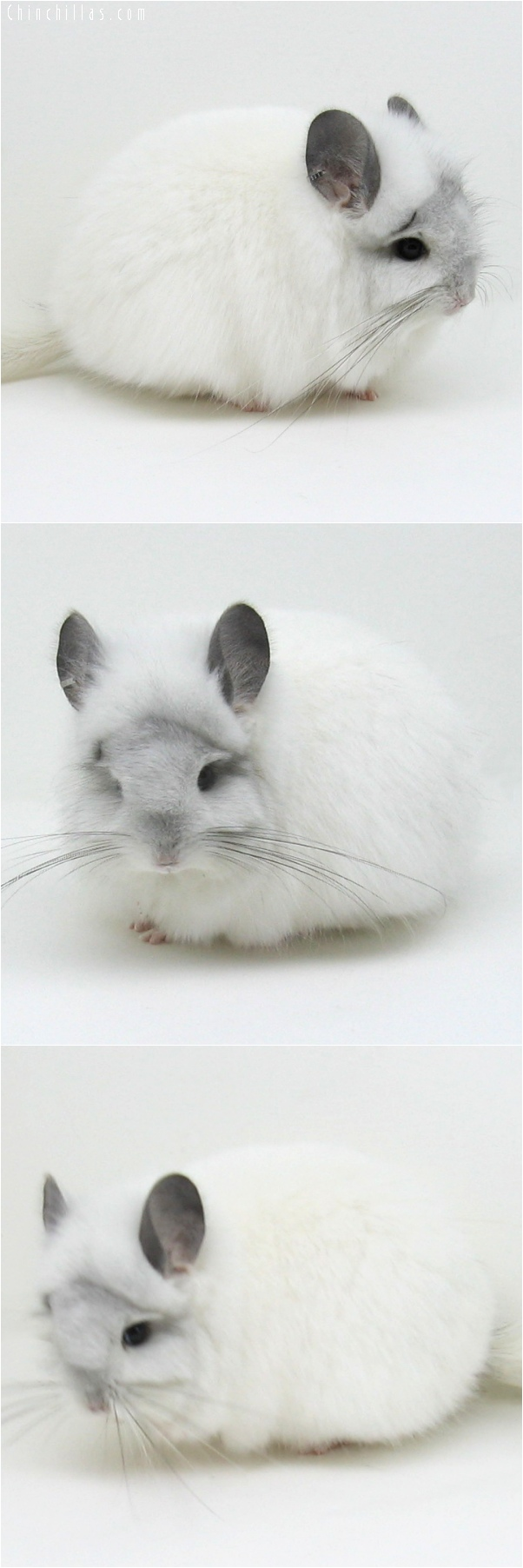 6078 White Mosaic Royal Persian Angora Female Chinchilla