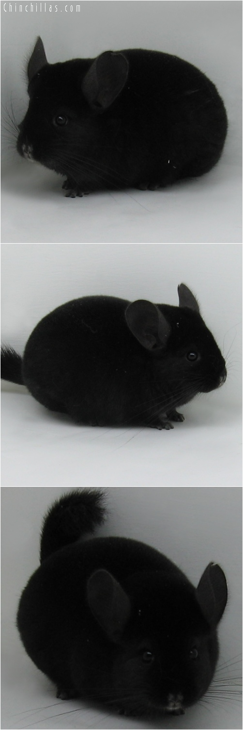 6063 Premium Production Quality Ebony Female Chinchilla