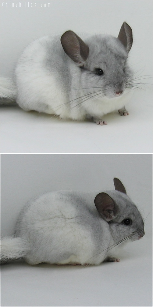 6069 Top Show Quality White Mosaic Male Chinchilla