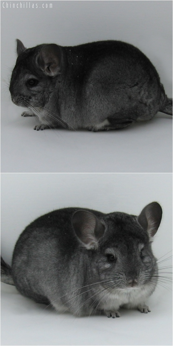 6075 Premuim Production Quality Standard Female Chinchilla