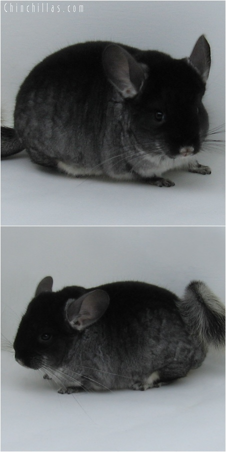 6074 Show Quality Black Velvet ( Sapphire Carrier ) Female Chinchilla