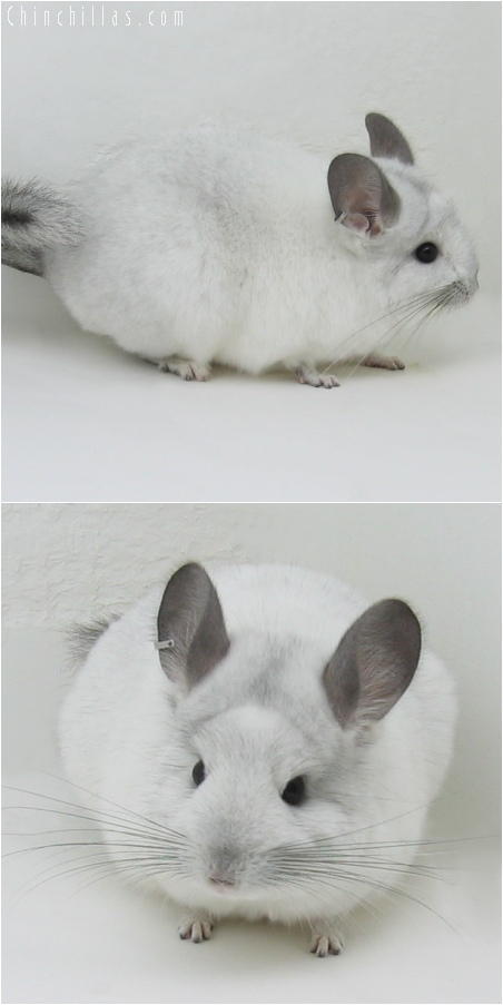 6058 White Mosaic ( Royal Persian Angora Carrier ) Female Chinchilla