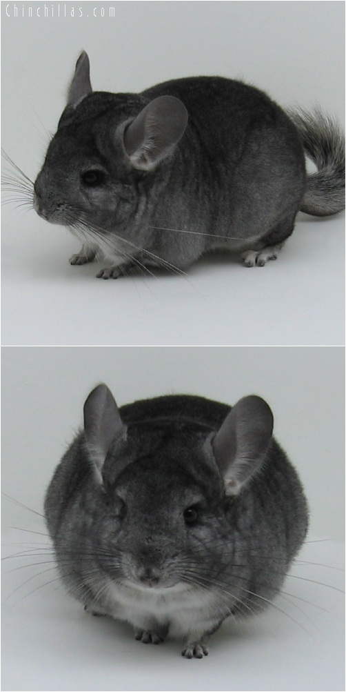 6011 Show Quality Standard ( Violet Carrier ) Female Chinchilla