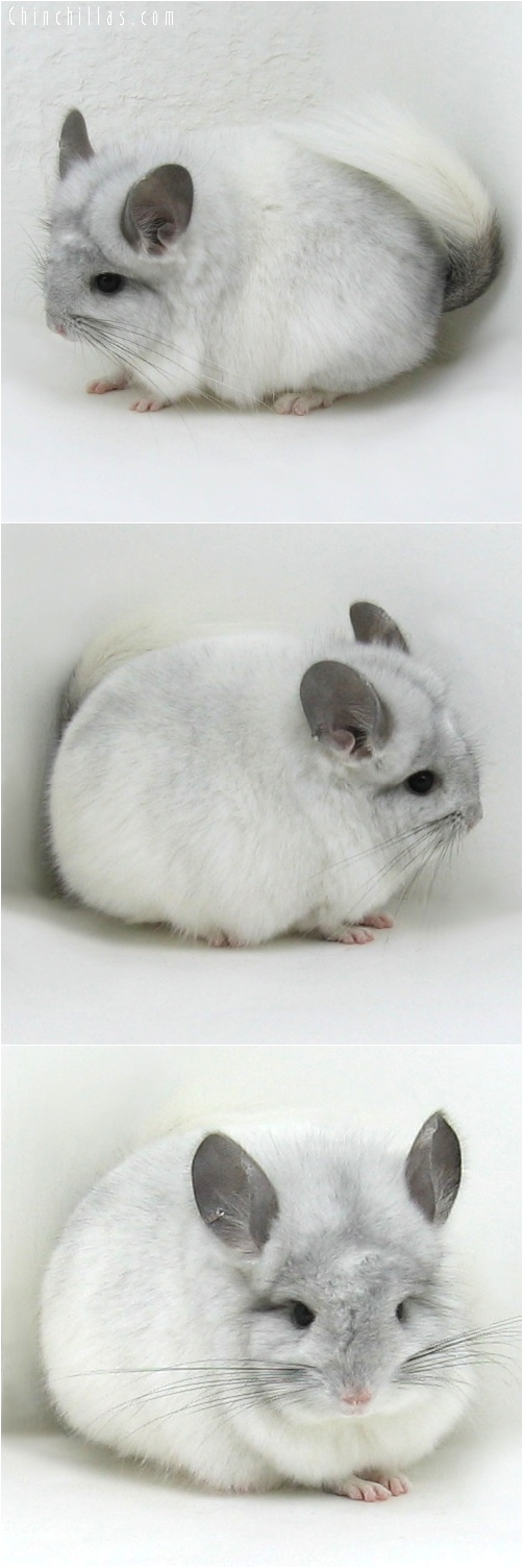 6067 White Mosaic Royal Persian Angora Male Chinchilla