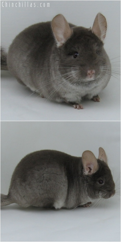 6054 Show Quality TOV Beige Female Chinchilla