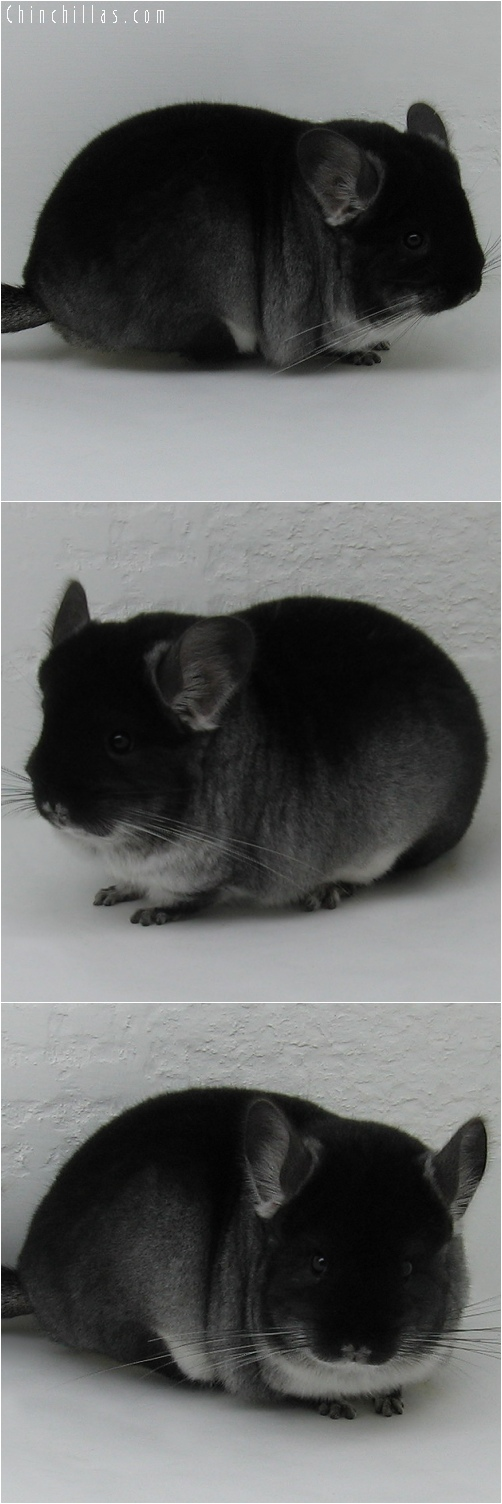 6082 Large Premium Production Quality Black Velvet Female Chinchilla