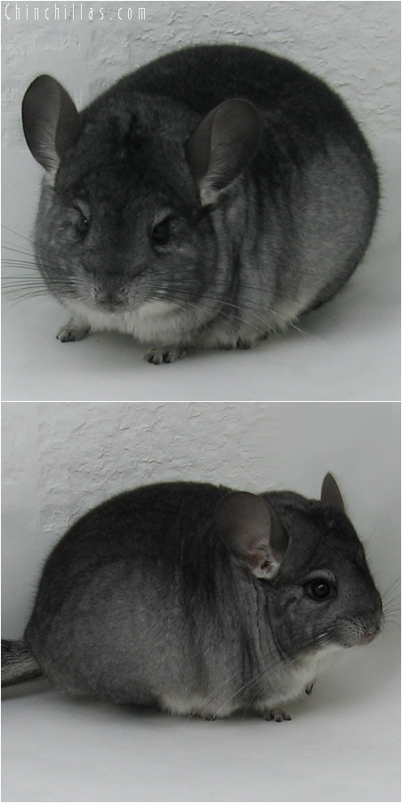6079 Show Quality Standard ( Sapphire Carrier ) Male Chinchilla