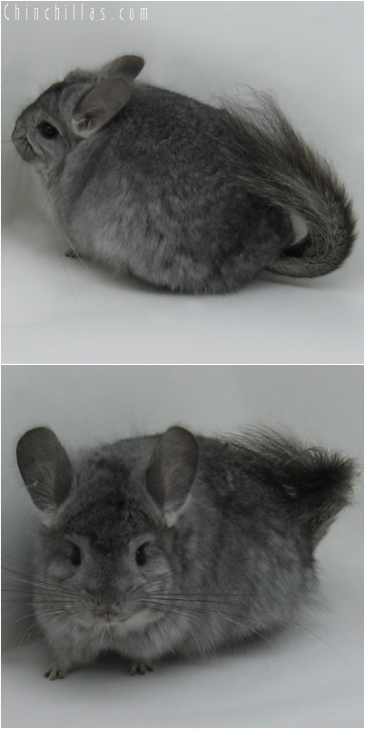 6077 Standard Royal Persian Angora Female Chinchilla