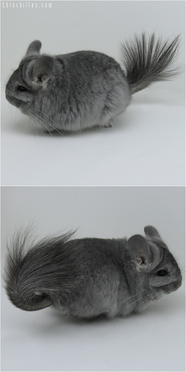 6059 Standard Royal Persian Angora Female Chinchilla