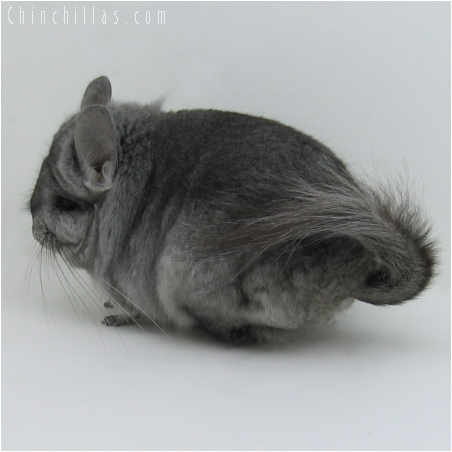 6066 Standard Royal Persian Angora Male Chinchilla