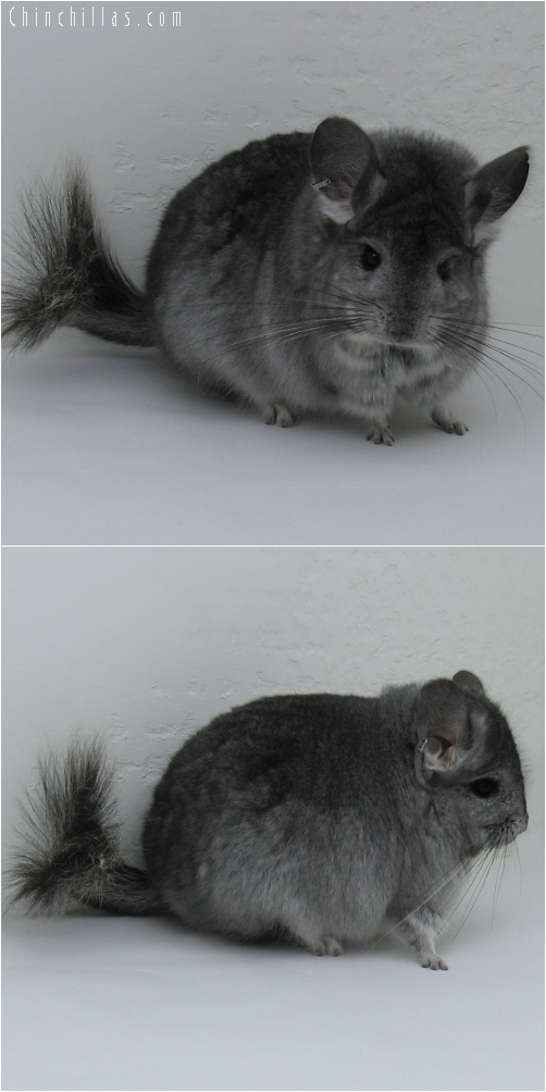 6086 Standard Royal Persian Angora Male Chinchilla
