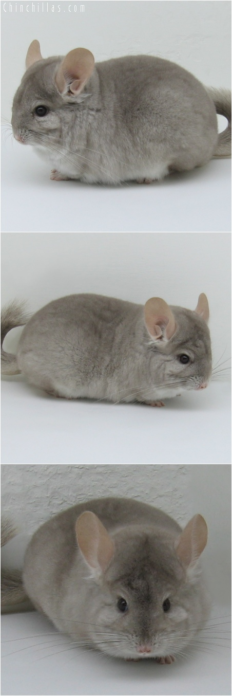 6091 Show Quality Beige Female Chinchilla