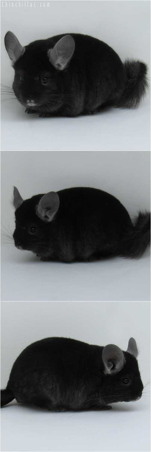 6088 Premium Production Quality TOV Ebony ( Violet Carrier ) Female Chinchilla