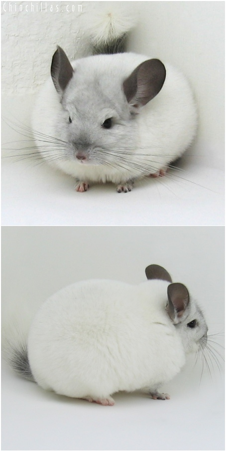 6092 Premium Production Quality White Mosaic Female Chinchilla