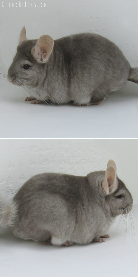 6090 Large Show Quality Beige ( Violet Carrier ) Female Chinchilla