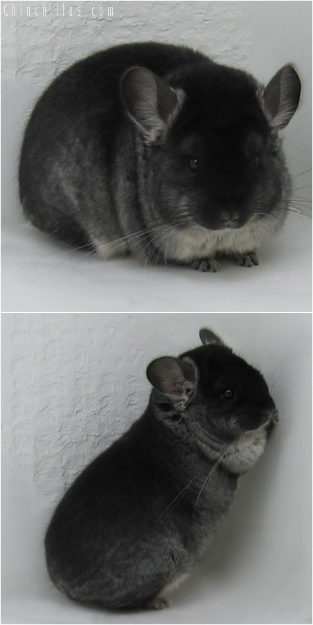 6038 Show Quality Black Velvet Female Chinchilla