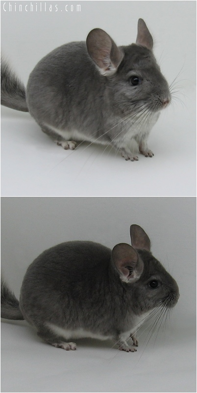 6049 Violet ( Ebony Carrier ) Female Chinchilla