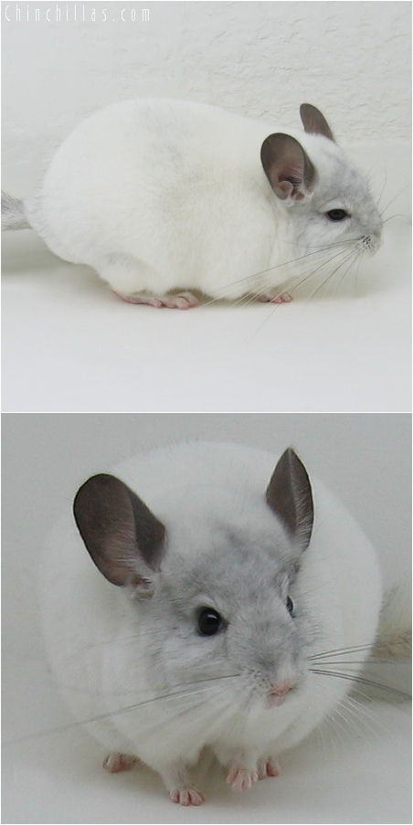 6065 Top Show Quality White Mosaic ( Sapphire Carrier ) Male Chinchilla