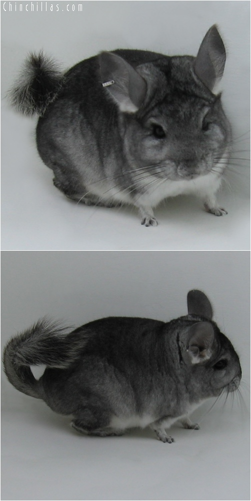6055 Standard ( Royal Persian Angora Carrier ) Male Chinchilla