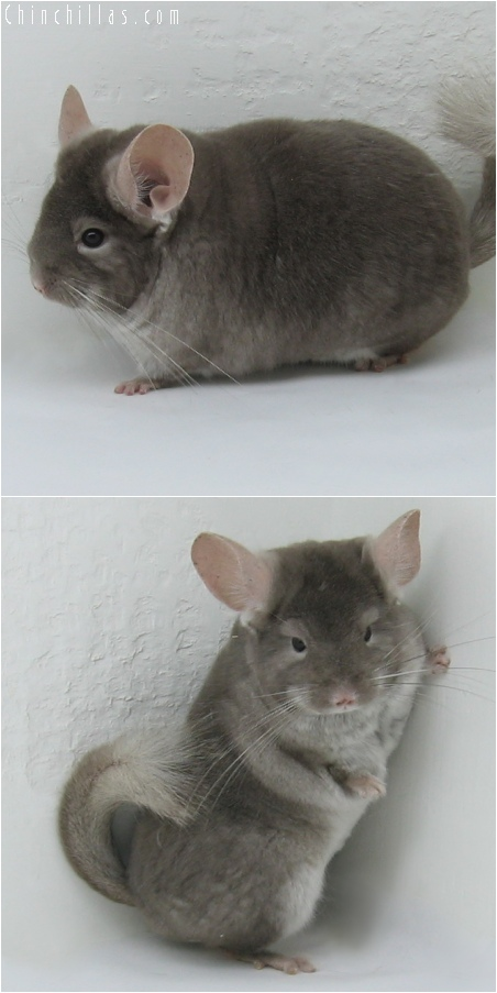 6098 Show Quality TOV Beige ( Violet Carrier ) Female Chinchilla