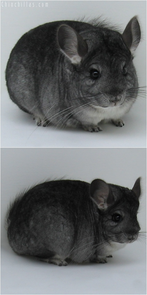 6101 Show Quality Standard ( Sapphire Carrier ) Female Chinchilla