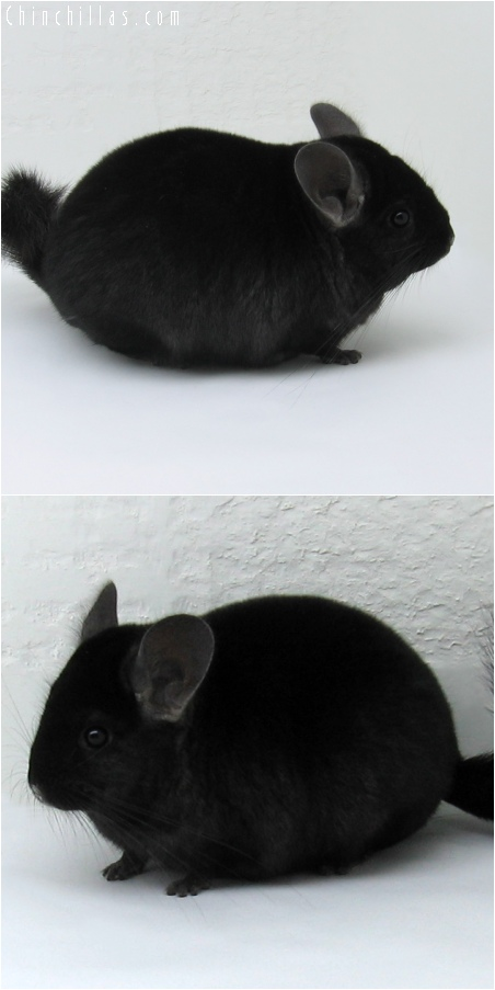 6097 Show Quality Extra Dark Ebony Female Chinchilla