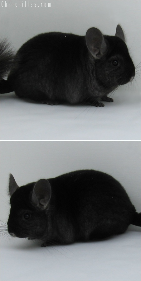 6107 Extra Dark Show Quality Ebony Female Chinchilla
